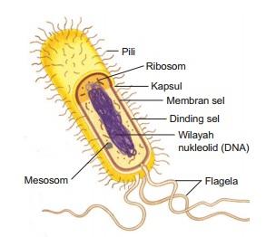 Gambar Bakteri E. Coli