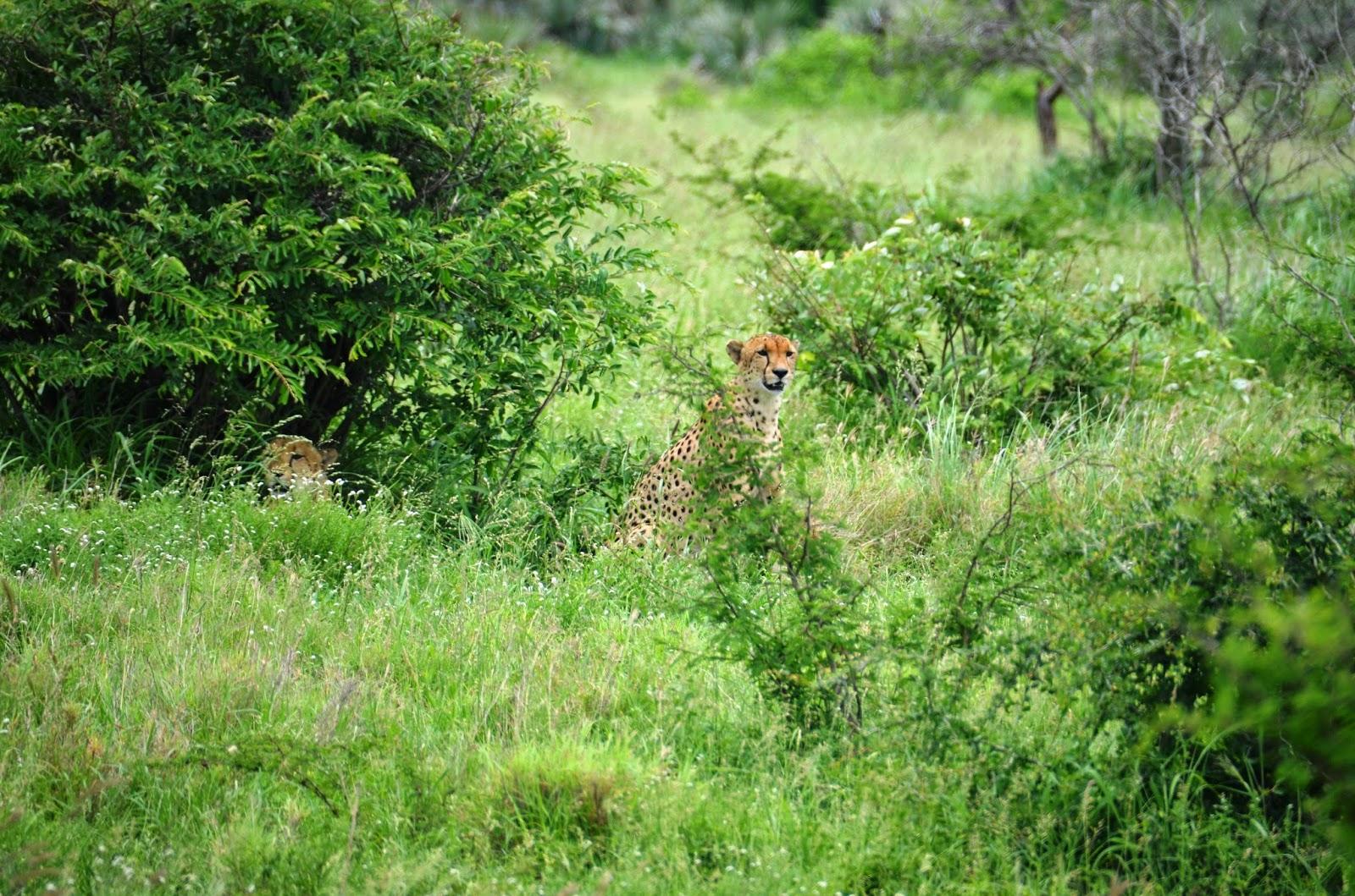 cheetahs in kruger national park