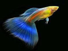 Cara menyembuhkan penyakit ikan guppy