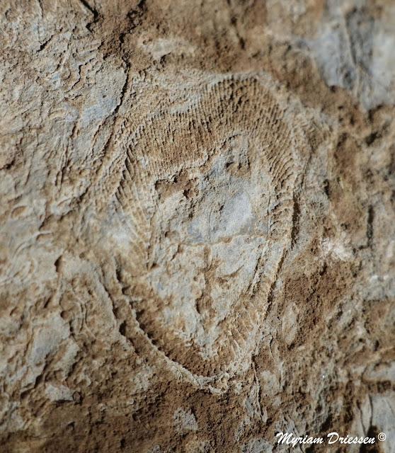fossile archeocyathe cambrien Montagne Noire