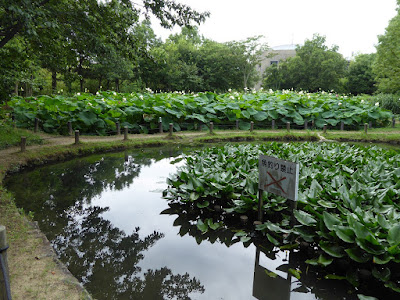 花博記念公園鶴見緑地のハス池(奥)、手前はため池