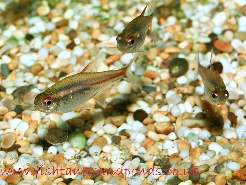 Gambar dan foto Ikan Hias Glowlight Tetra Profil Dan Cara Merawatnya