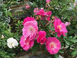 hoa hồng tầm xuân đà lạt