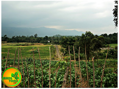 Perkebunan Jagung Gampong Lam Ara Tunong