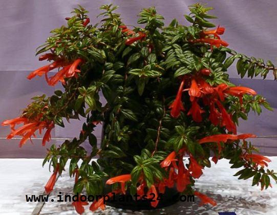 COLUMNEA X BANKSII indoor plant image