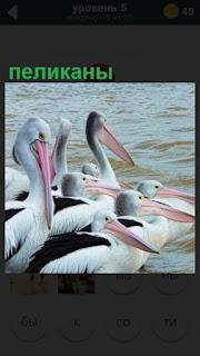 несколько пеликанов находятся около водоема