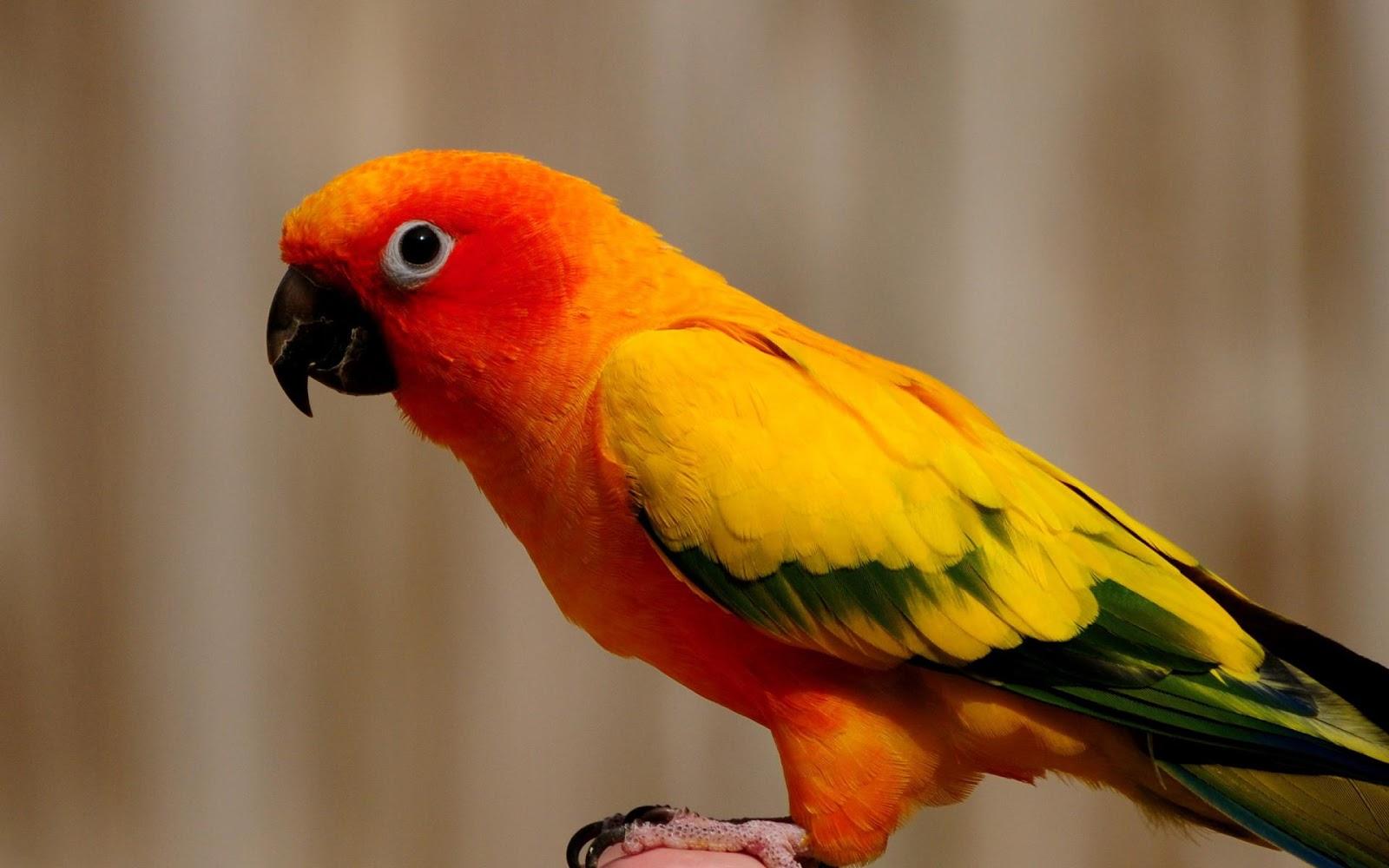 BO Management  B...Yellow Green Parakeet