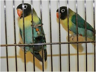 Harga Lovebird Parblue di Indonesia Mssih Fantastis