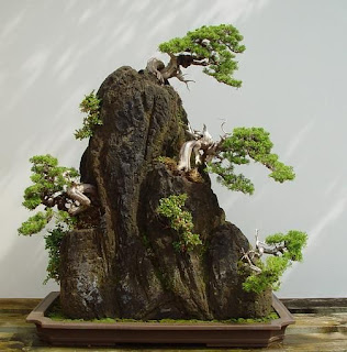 Growing in a rock Bonsai style (Ishisuki)