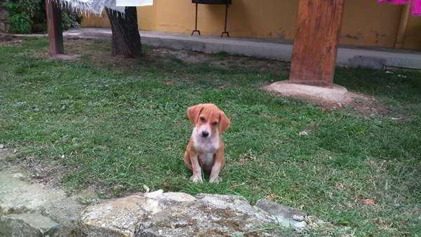 cachorros cruce sabueso con podenco 3