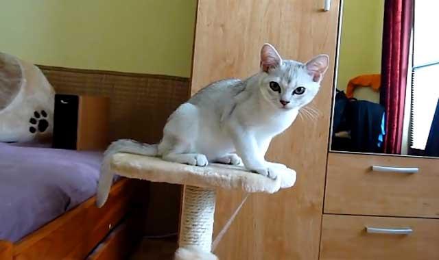 Burmilla Cat Breed Information