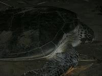 Turtle Laying Egg in Sukamade Banyuwangi