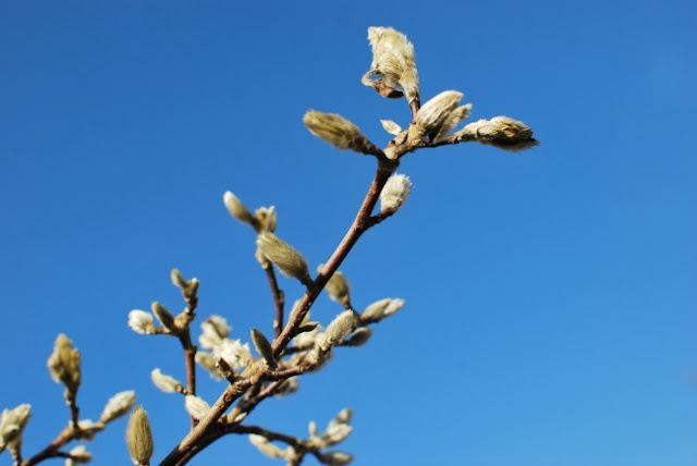 A-Cardiff-Garden-In-December-picture-of-buds-on-the-Magnolia