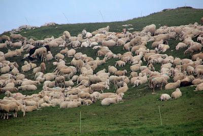 Λίπανση χωραφιού με πρόβατα