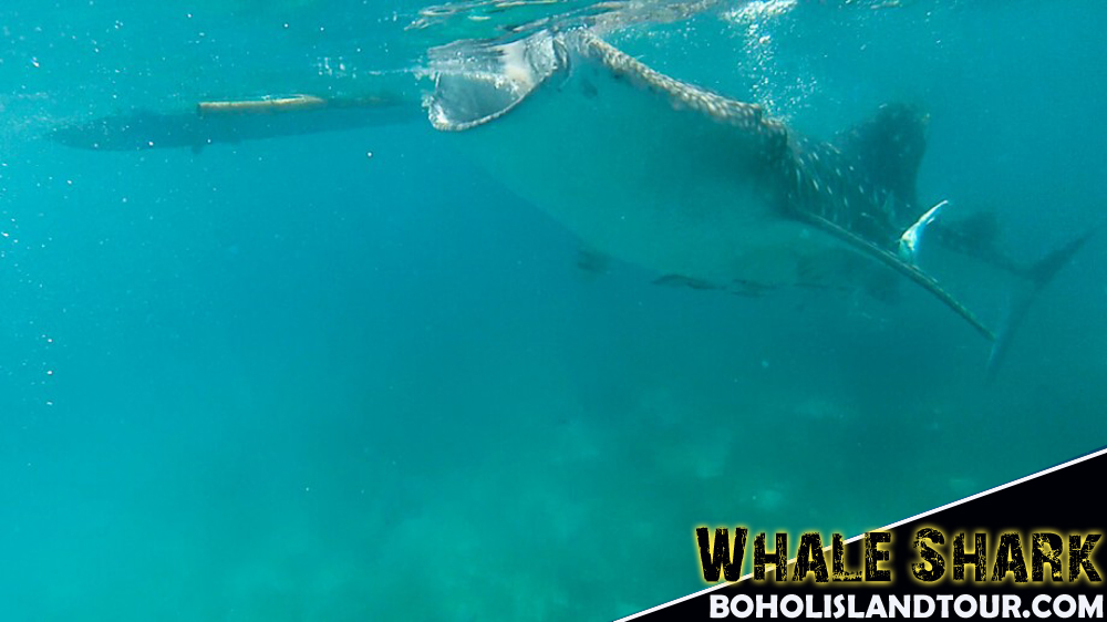 whale shark Cebu Oslob