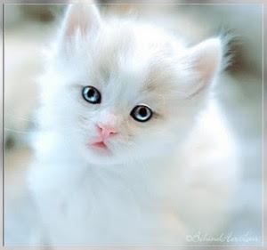 30 Lebih Gambar Kucing Lucu Dan Imut Anggora Persia Maine Coon The Uniquez