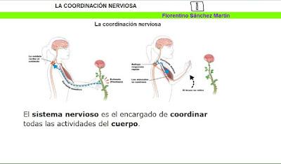 http://cplosangeles.juntaextremadura.net/web/edilim/tercer_ciclo/cmedio/las_funciones_vitales/la_funcion_de_relacion/la_coordinacion_nerviosa/la_coordinacion_nerviosa.html