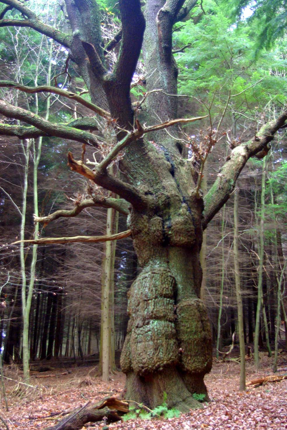 Out & About: Shinning Cliff Woods & The Betty Kenny Tree