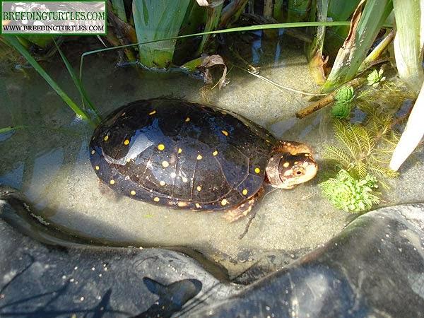 Tortuga moteada (Clemmys guttata)