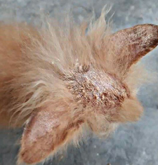 Download 65+  Gambar Penyakit Kucing Persia Paling Imut HD