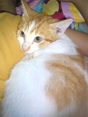 Image result for kucing putih oren