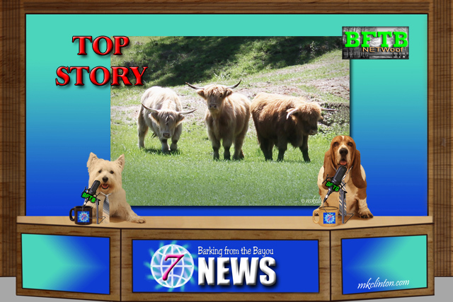 BFTB NETWoof News reports on Highland calf