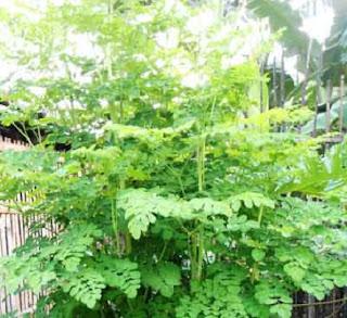 cara memasak daun kelor yang benar,daun kelor penangkal ilmu hitam,cara memasak daun kelor untuk obat,manfaat daun kelor bagi kecantikan,tumis daun kelor,resep sayur daun kelor,
