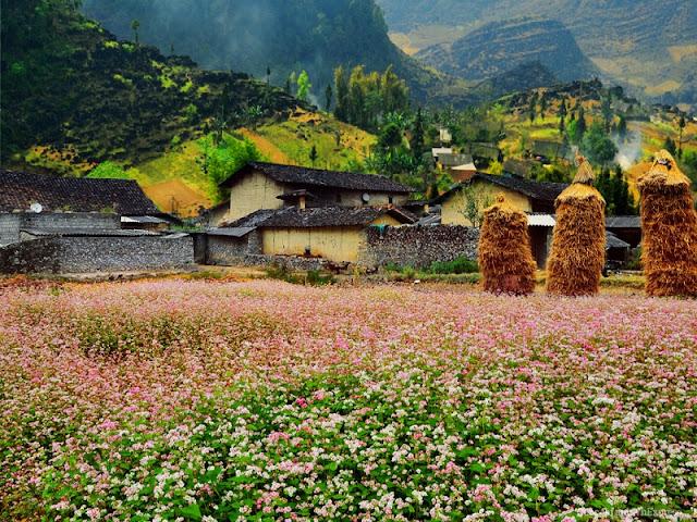 Pho Cao - Attractive Buckwheat Flower Season 3