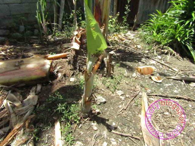 tunas pohon pisang, cepat bisa,