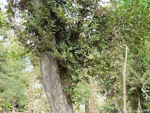 Cây Ruối - Streblus asper - Nguyên liệu làm thuốc Chữa bệnh Mắt Tai Răng Họng