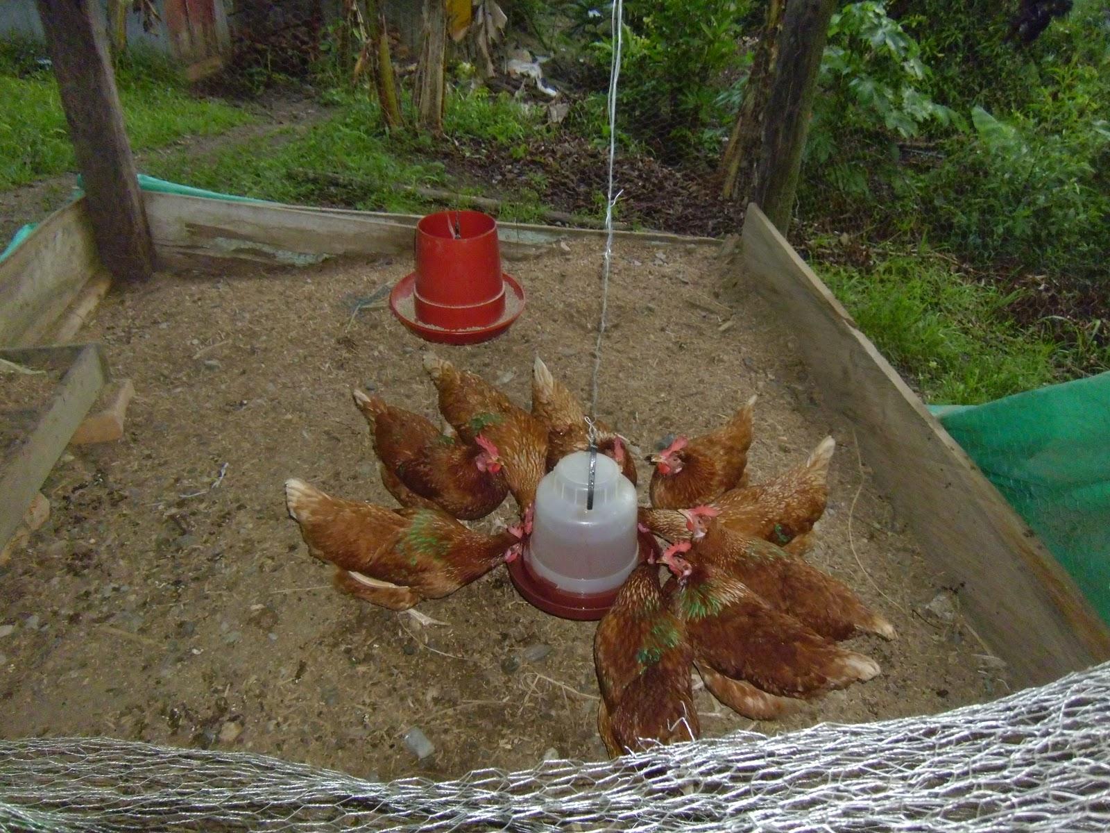 Proyecto productivo de gallinas ponedoras for Proyecto de criadero de mojarras