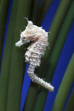 Seahorse | A-Z List of 125 Rare Albino Animals [Pics]