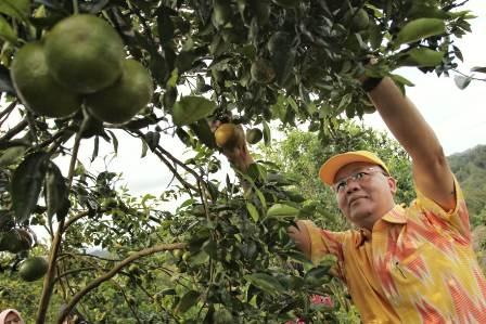 Mengintip Segarnya Prospek Jeruk Gerga Khas Provinsi Bengkulu