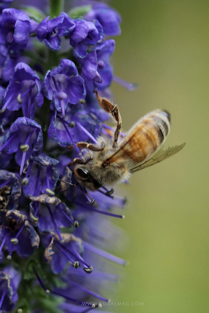 Honey bee looking for nectar on Veronica flower