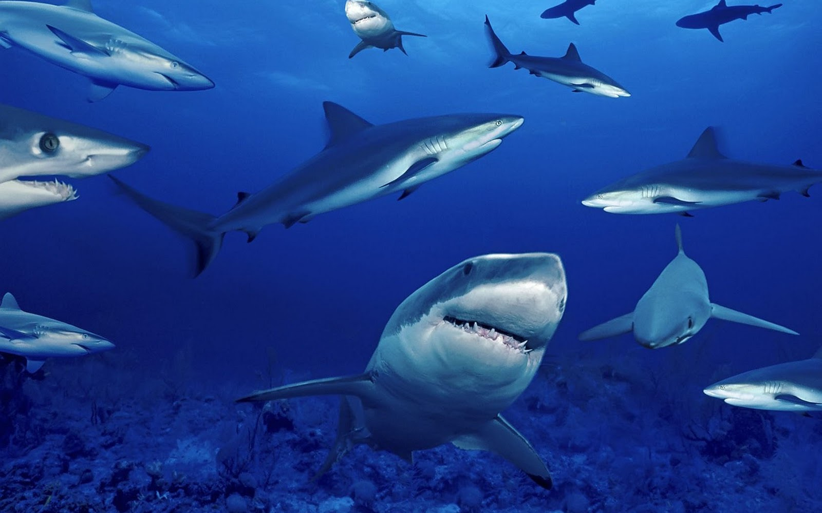 Shark Wallpaper Hd Shark Pictures Hd Animal Wallpapers