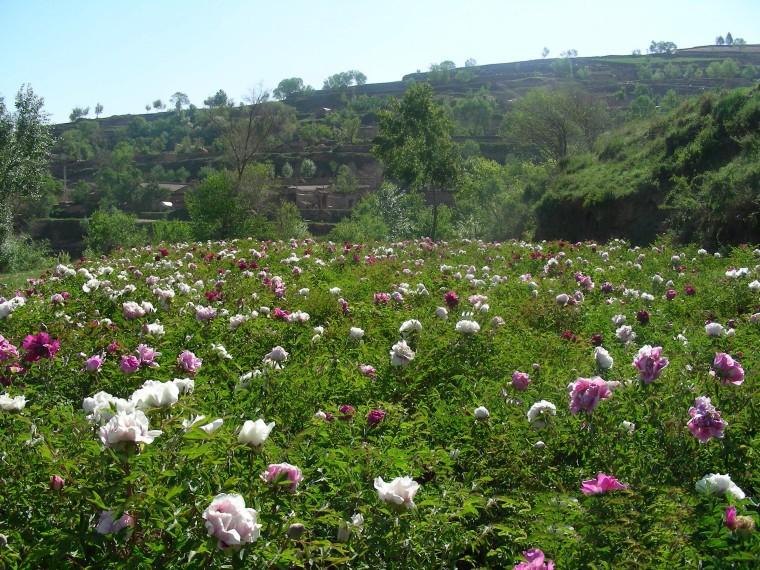 Hoa Mẫu Đơn là loài hoa tuyệt đẹp và sang trọng bậc nhất