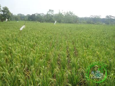 FOTO 2 : Padi Pak Tiwi / Pertiwi ditanam di lahan kering