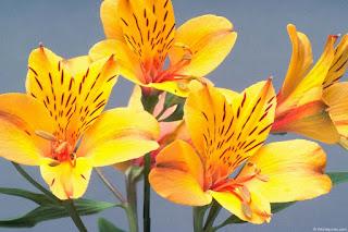 alstroemeria-azucena-peruana-o-astromelia-de-color-amarillo