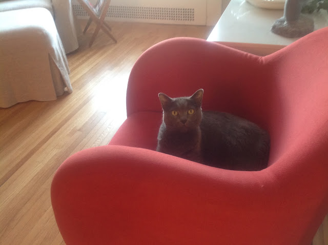 gray cat on red chair