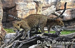 Leopardos en el bosque ecuatorial de Bioparc
