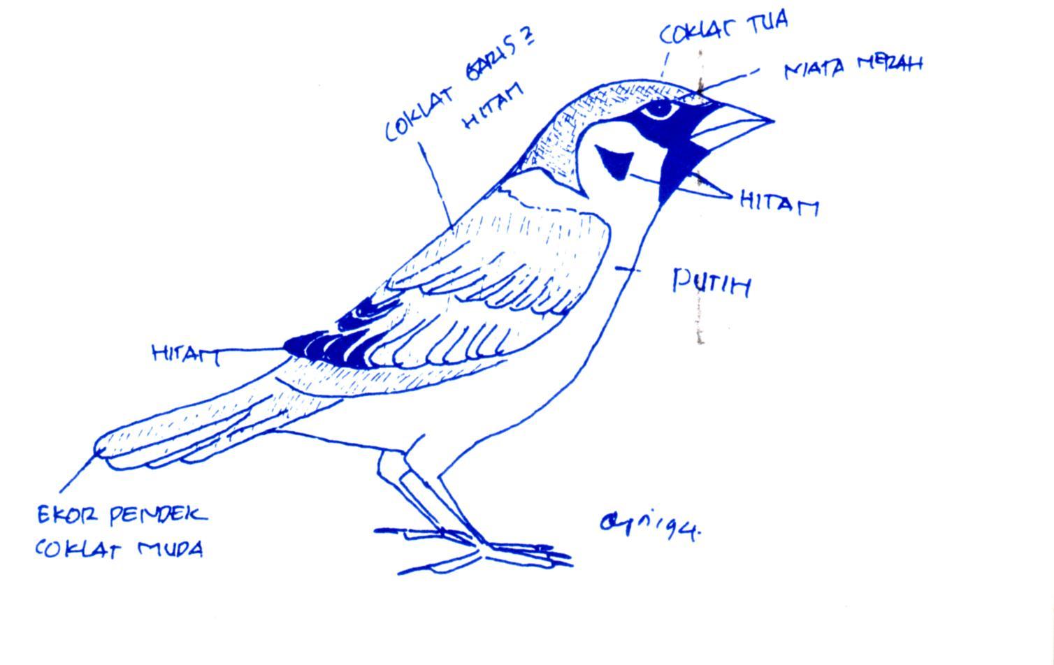 Kumpulan Sketsa Gambar Burung Gereja