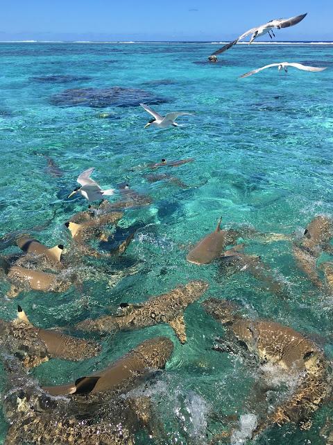 Bora Bora Sharks tour