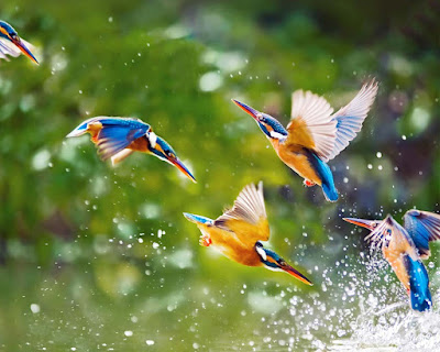 flying-king-fishers-in-group-image