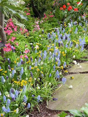 Pseudomuscari azureum Grape Hyacinths at the Allan Gardens Conservatory 2018 Spring Flower Show by garden muses-not another Toronto gardening blog