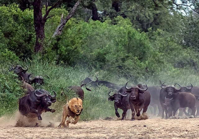 Dave Woollacott: Cape bisons chasing lion in Kruger National Park