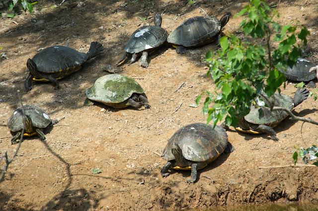 Sunbathing Turtles, Smith Oaks Rookery