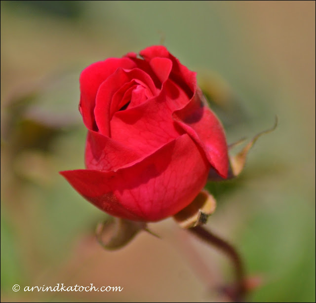 Beautiful, Young, Red, Rose, Flower