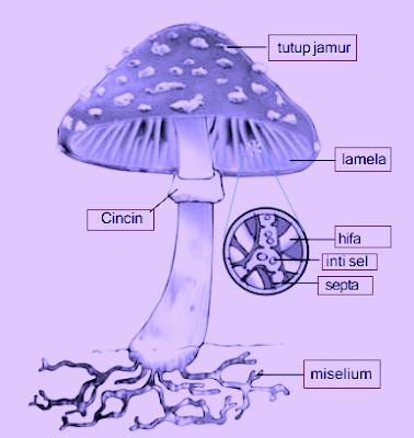 Ciri-Ciri Jamur  Jamur termasuk organisme eukariotik karena sel penyusunnya telah memiliki membran inti. Sel jamur juga memiliki dinding sel dari bahan kitin (chitine) yang merupakan polimer karbohidrat mengandung nitrogen. Zat ini juga terdapat pada eksoskeleton hewan arthropoda, seperti laba-laba dan serangga. Senyawa kitin bersifat kuat, tetapi fleksibel. Ini berbeda dengan tumbuhan umum yang dinding selnya tersusun dari selulosa dan bersifat kaku.