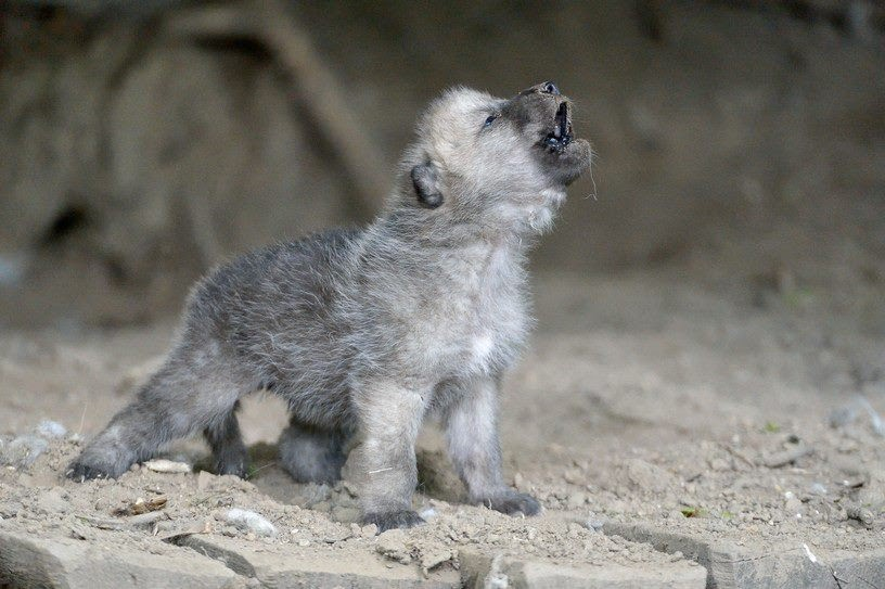 White Wolf : Amazing Howling Wild Wolf Pups That Will Fill ...