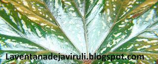 hoja-begonia-gryphon
